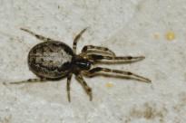 Zygiella.x-notata.female