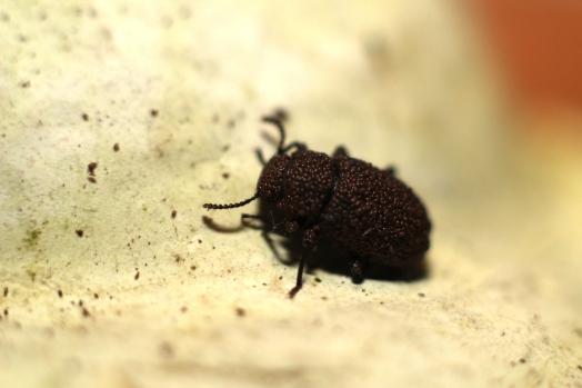 bolytophagusreticulatus2