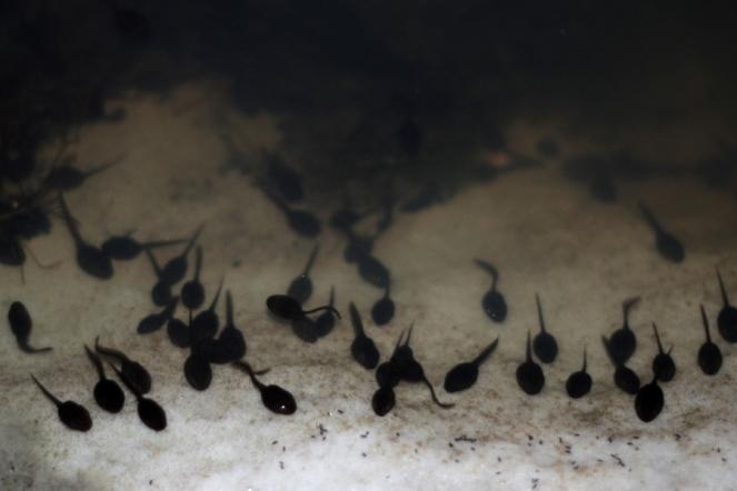 SortiesNature-amphibiens6