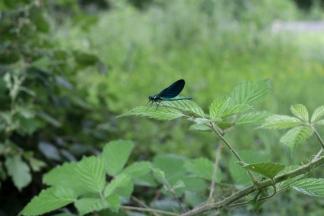 SortiesNature78-calopteryx-virgo