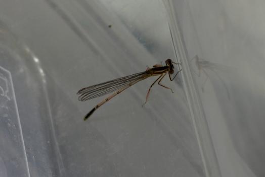 SortiesNature78-platycnemis-pennipes