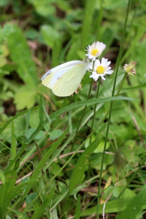 2017-07-19-SortiesNature78-papillons10
