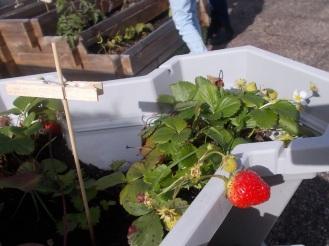 2017-10-13-Sortiesnature78-fraise2