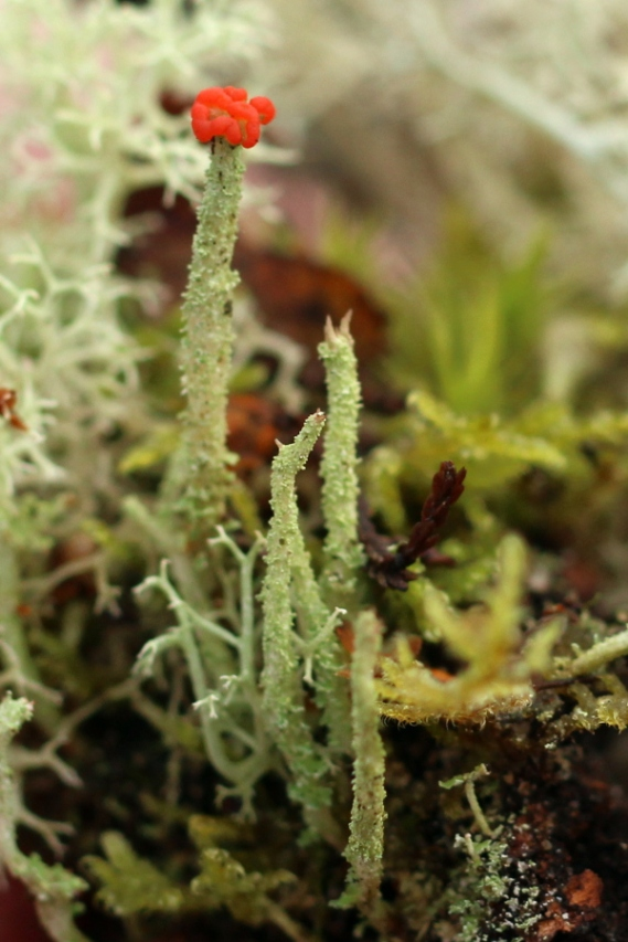 2019-03-03-SN78-Cladonia-polydactyla
